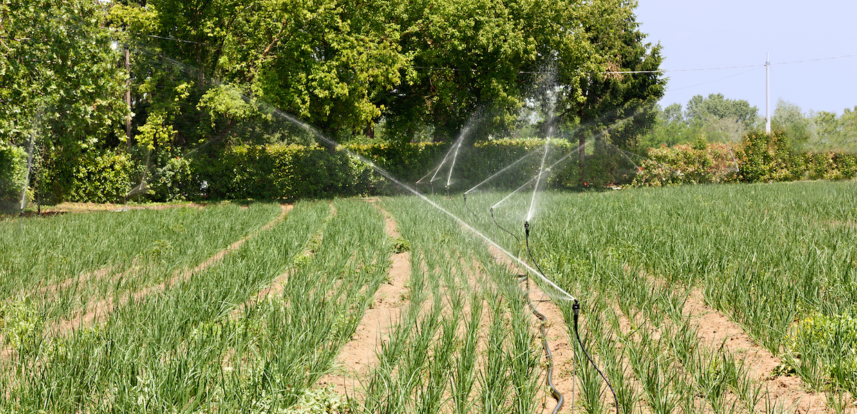 agricultural irrigation - field with young plants watered with the irrigator